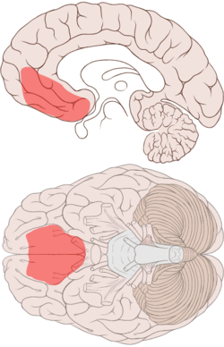 250px-Ventromedial_prefrontal_cortex